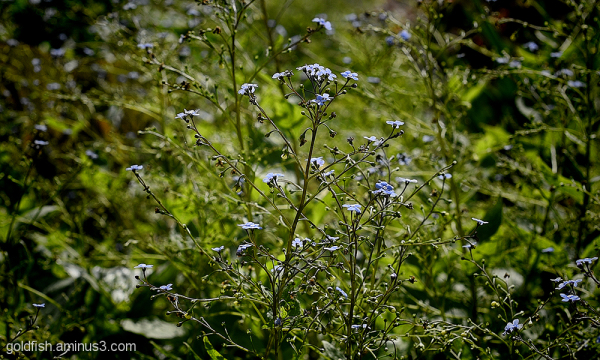 Forget-Me-Not - Myosotis