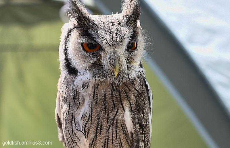 Northern White-Faced Owl - Ptilopsis Leucotis