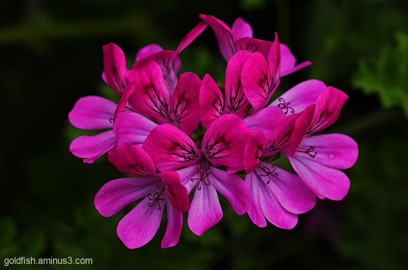 Pelargonium - Pink Capricorn