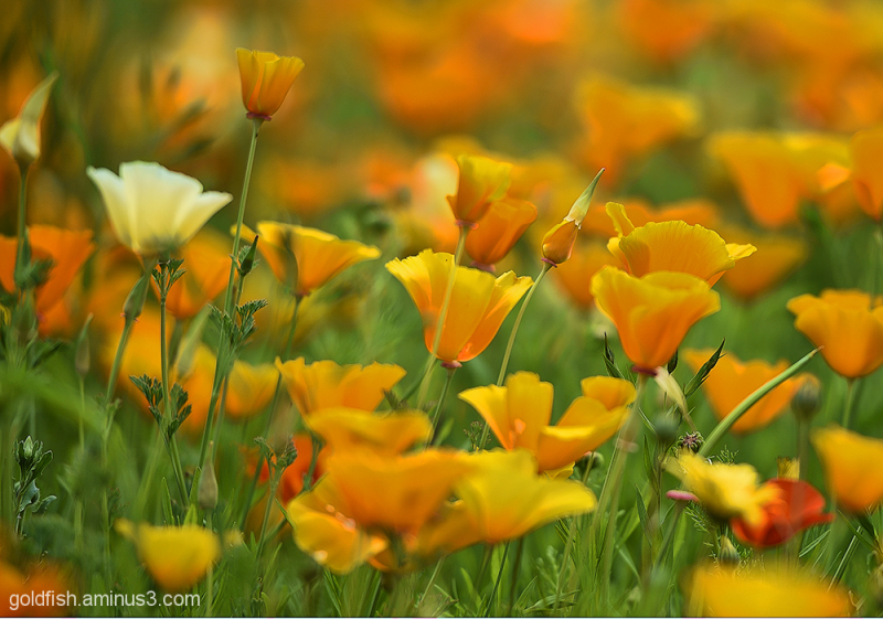Californian Poppy - Eschscholzia Californica 1/2