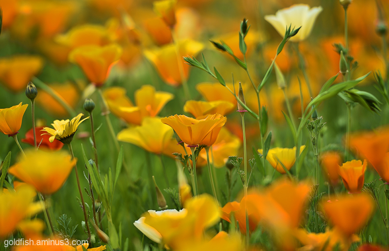 Californian Poppy - Eschscholzia Californica 2/2