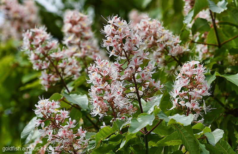 Indian Horse Chestnut - Aesculus Indica