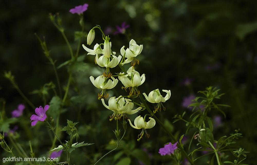Turks Cap Lily - Lilium Martagon Alba