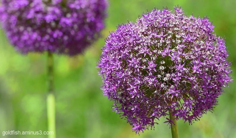 Allium Globemaster II