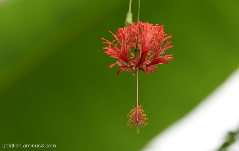 Japanese Lantern - Hibiscus Schizopetalus