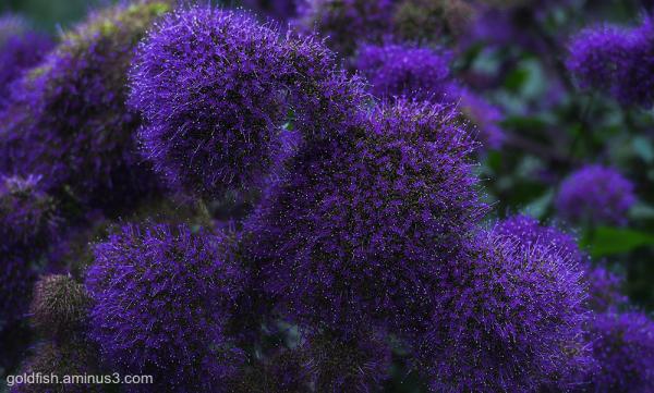 Throatwort - Trachelium Caeruleum i