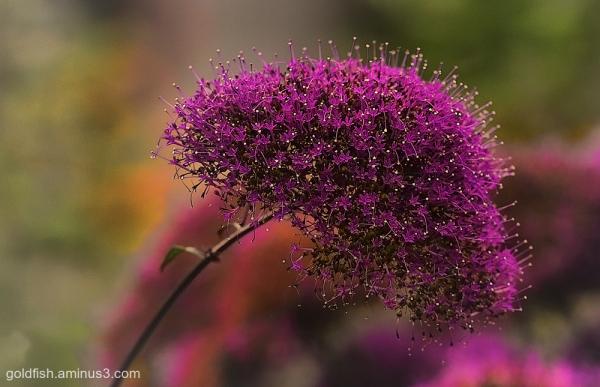 Throatwort - Trachelium Caeruleum ii