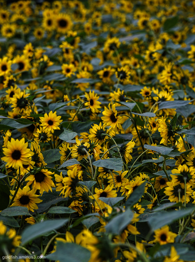 Sunflower - Helianthus i