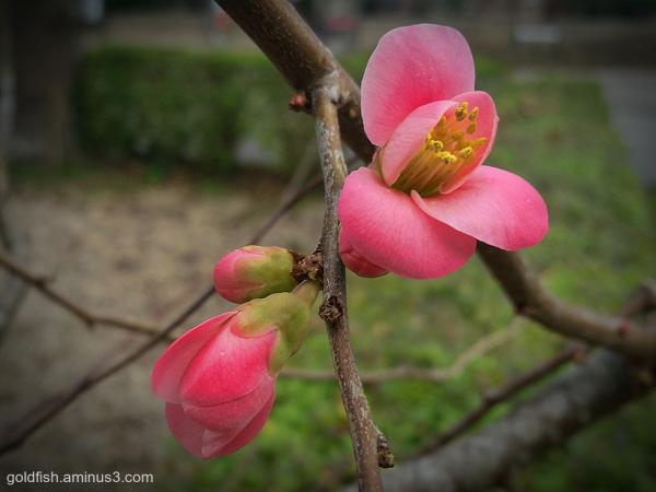 Apple Blossom in December