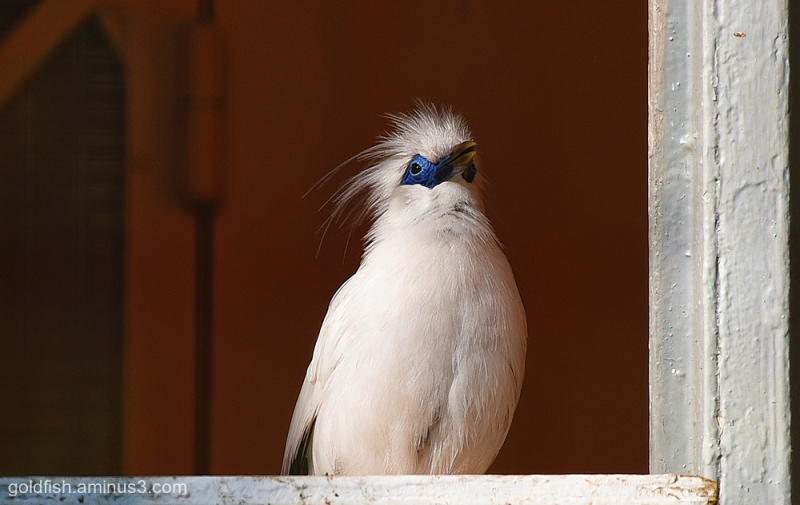 Waddeson Manor - Rothschild Mynah