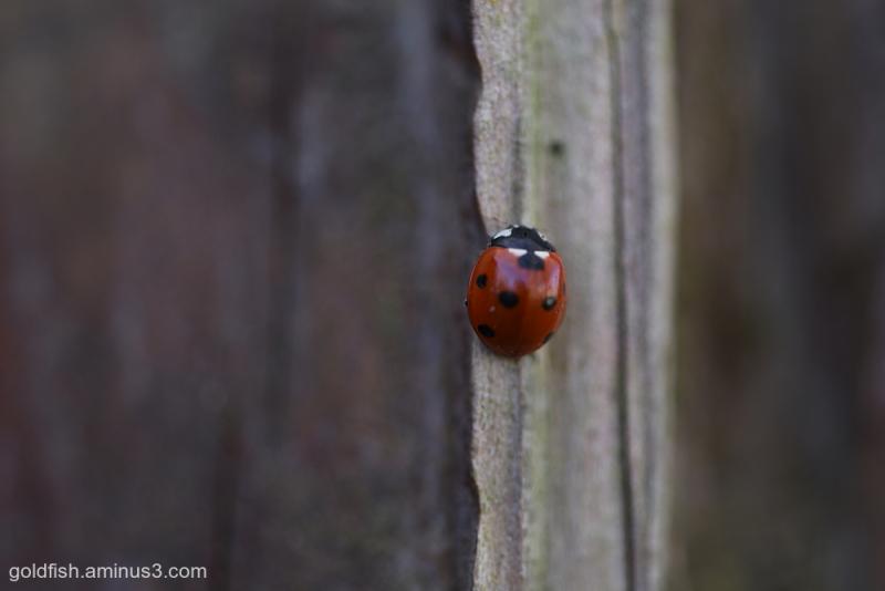 Coccinellidae - Ladybird