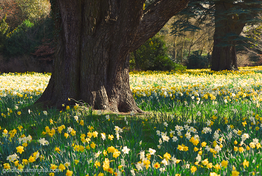 A host, of golden daffodills ii