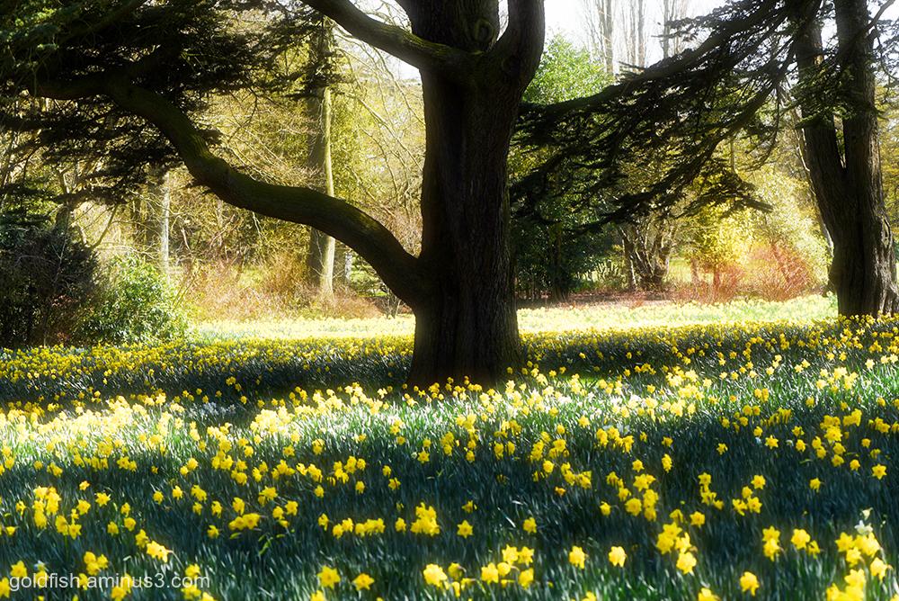 A host, of golden daffodills iii