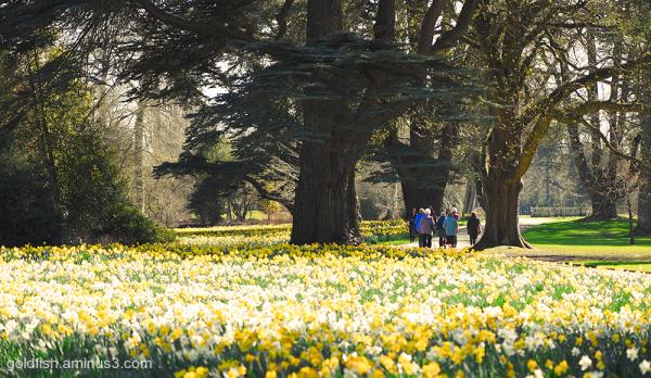 A host, of golden daffodills iv