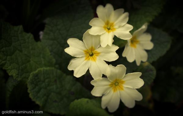 English Primrose - Primula vulgaris