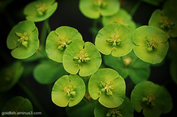 Spurge - Euphorbia