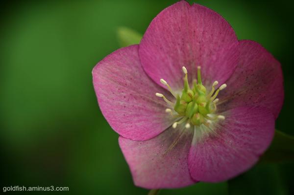 Lenten Rose - Helleborus Orientalis