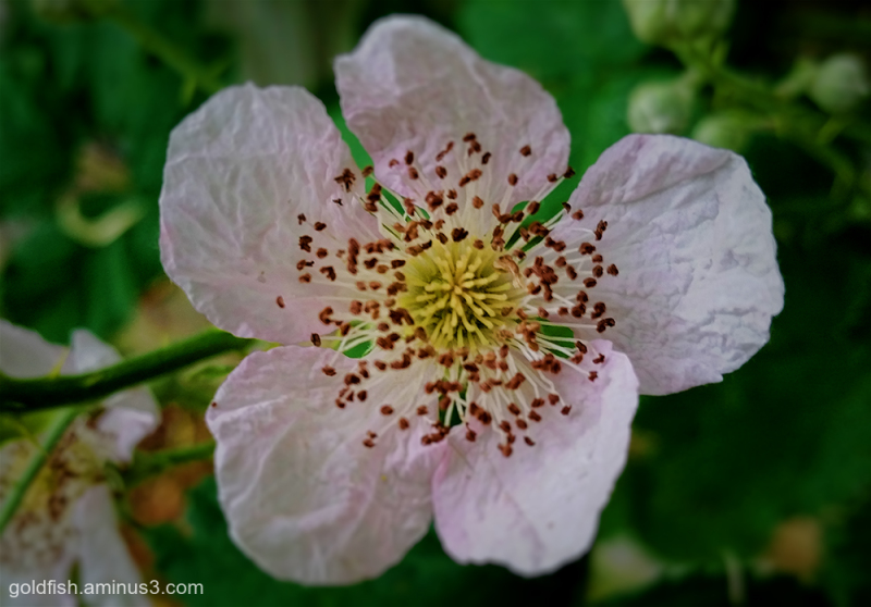 Blackberry - Rubus Fruticosus