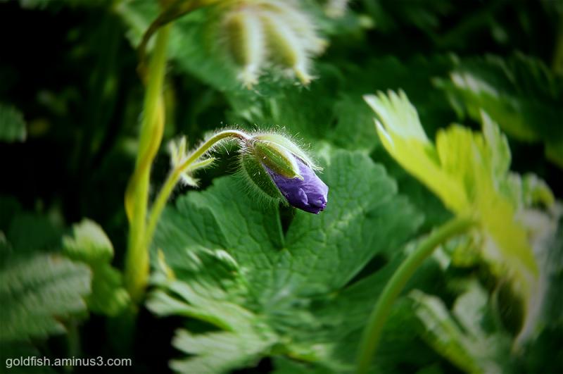 Cranesbill - Geranium