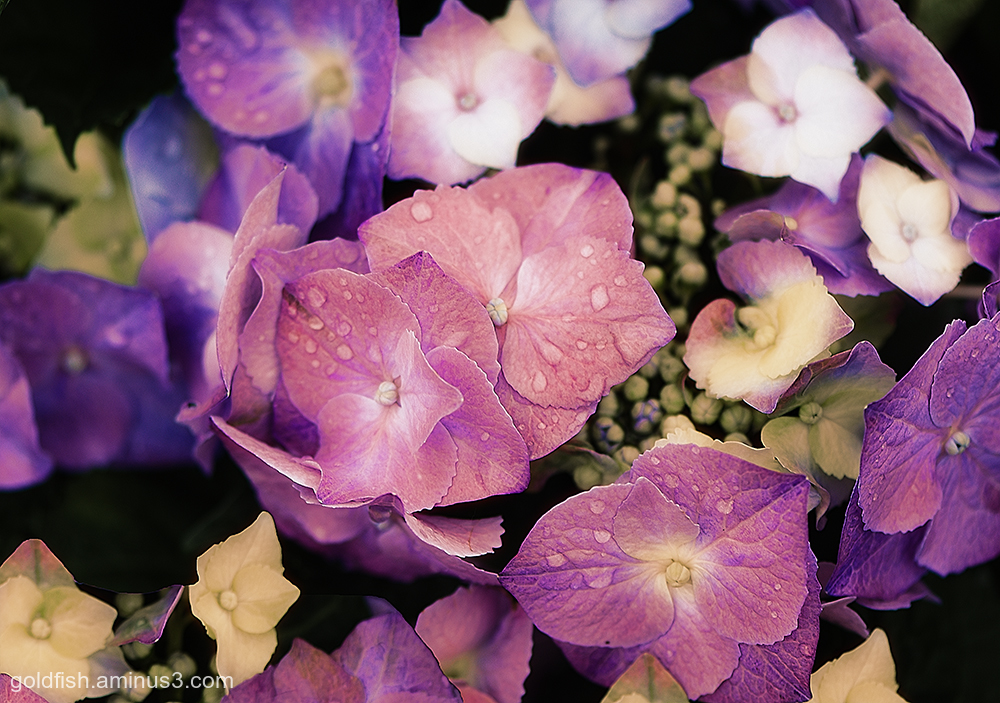 Hydrangea - Hortensia ii