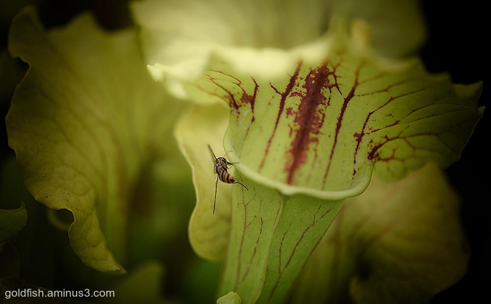 Sarracenia Oreophila - Green Pitcherplant