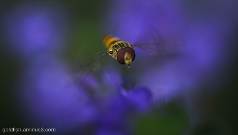 Hoverfly - Syrphidae