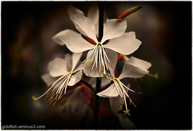 Gaura 'Whirling Butterflies' - Beeblossom