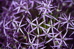 Allium Christophii - Star of Persia ii