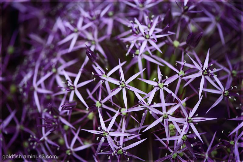 Allium Christophii - Star of Persia ii