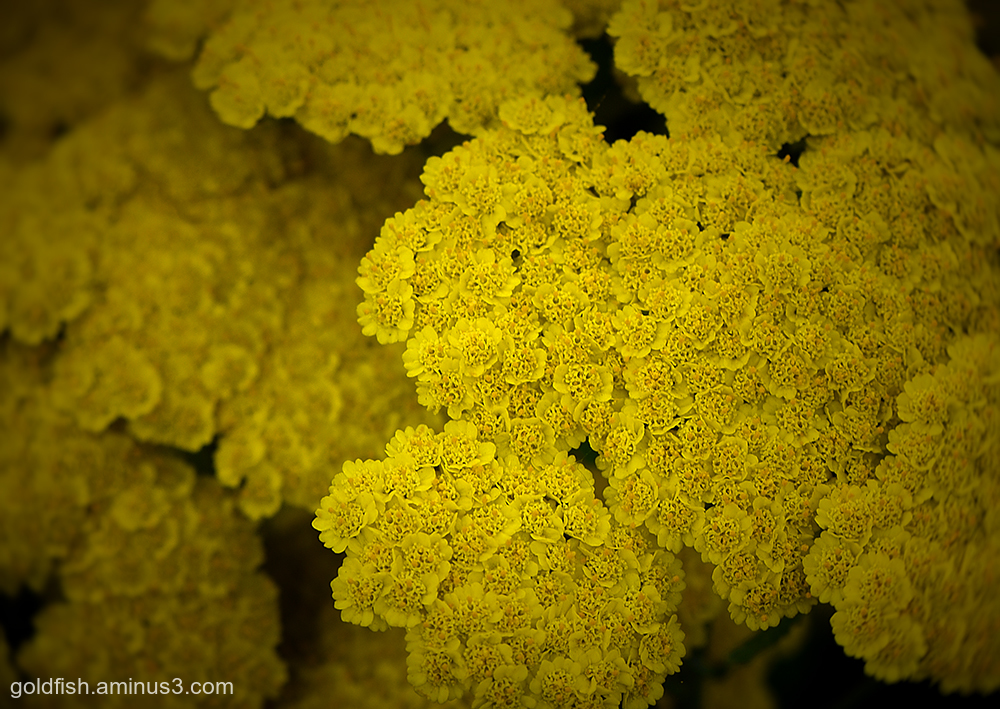 Golden Yarrow - Eriophyllum Confertiflorum