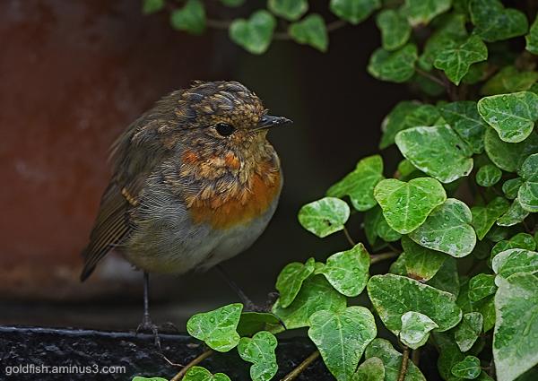 European Robin - Erithacus Rubecula iii