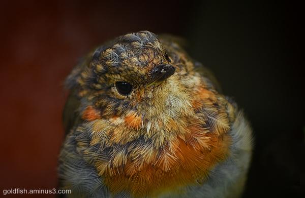 European Robin - Erithacus Rubecula iv