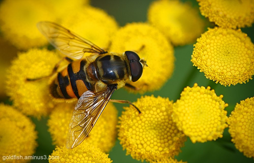 Tansy and the Hoverfly