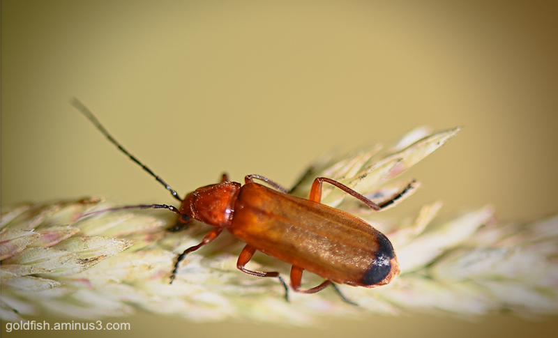 The Common Red Soldier Beetle