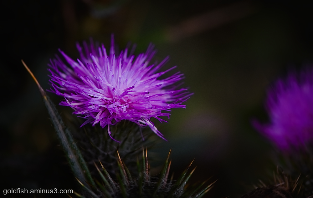 Milk Thistle - Silybum Marianum