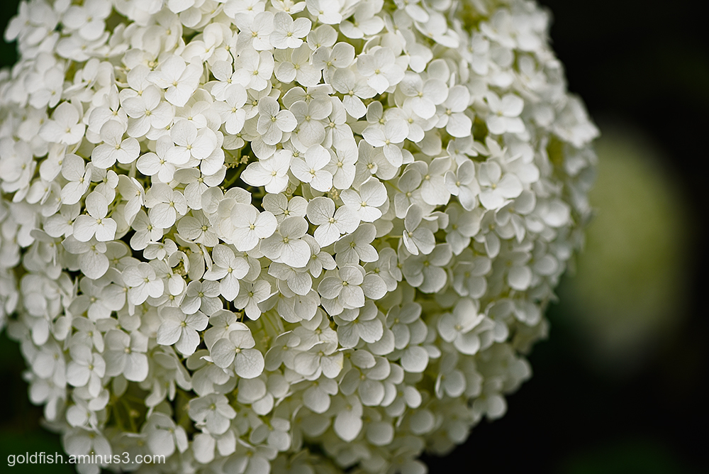 Hydrangea Arborescens Annabelle ii