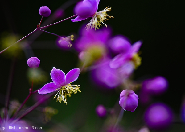 Meadow Rue - Thalictrum Rochebrunianum