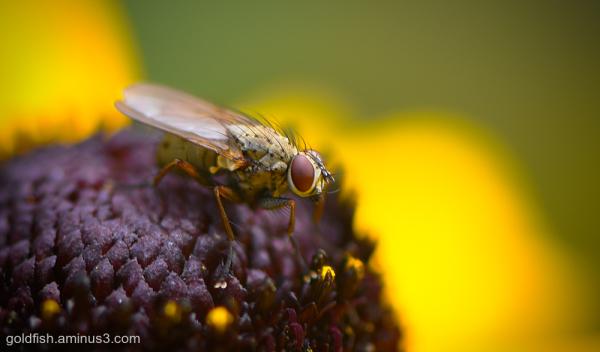 Root-maggot fly - Anthomyiidae