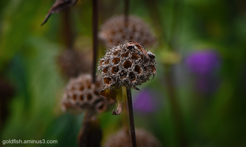 Phlomis Seed Head