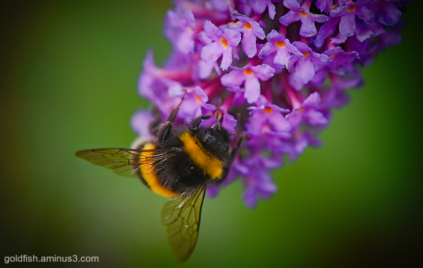 The Buddleia And Bee