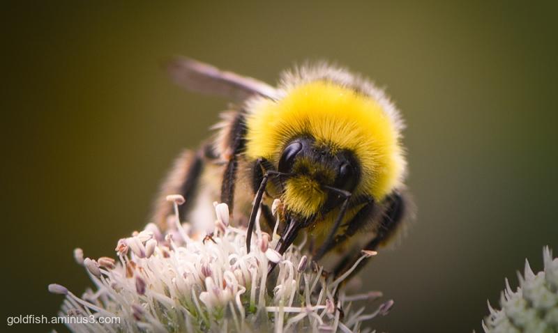 Eryngium Agavifolium And The Bumble Bee