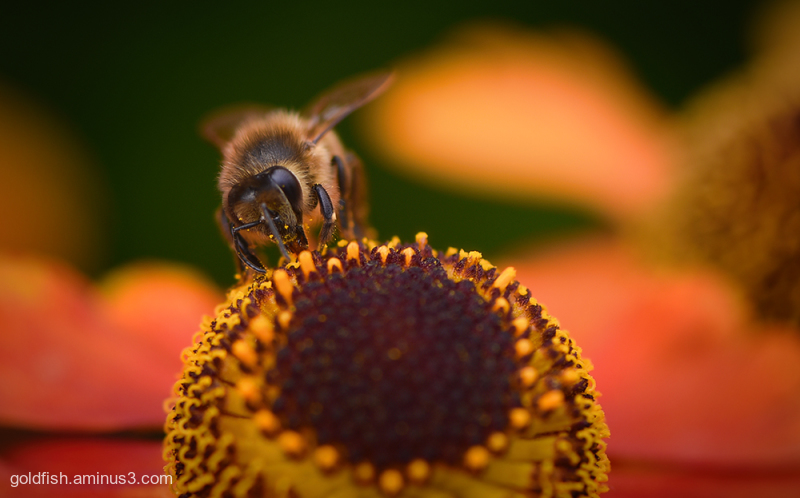 Sneezeweed And The Bee