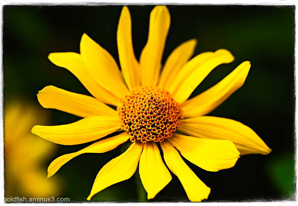 Helianthus Atrorubens - Purpledisc Sunflower
