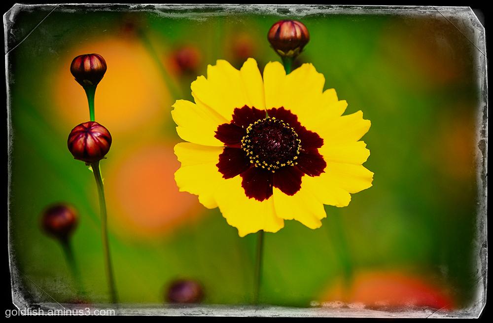 Tagetes Patula - French Marigold