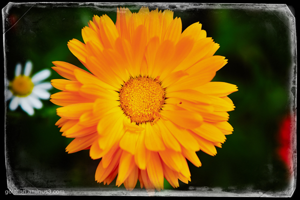 Calendula Officinalis - English Marigold