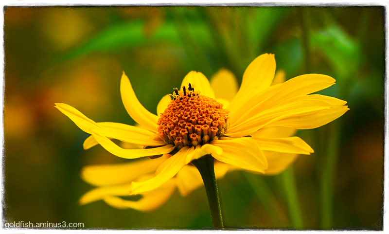 Helianthus Atrorubens - Purpledisc Sunflower ii