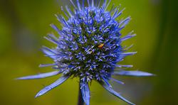 Eryngium Planum - Blue Hobbit