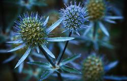 Eryngium Planum - Blue Hobbit ii