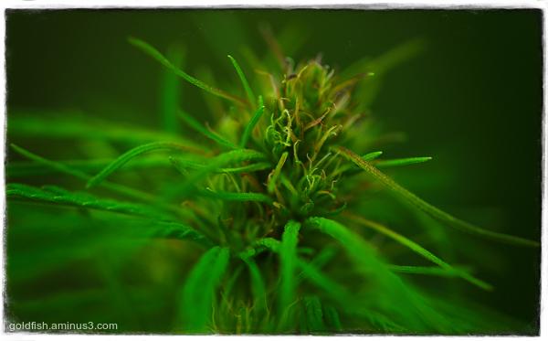 Cannabis - Common Hemp