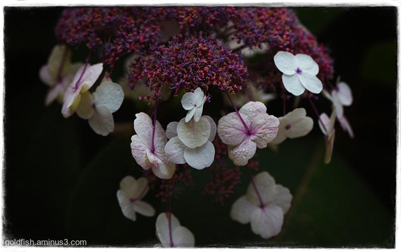 Hydrangea Macrophylla Normalis - Lacecap Hydrangea